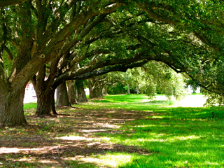 League City is known for its fantastic old growth oak